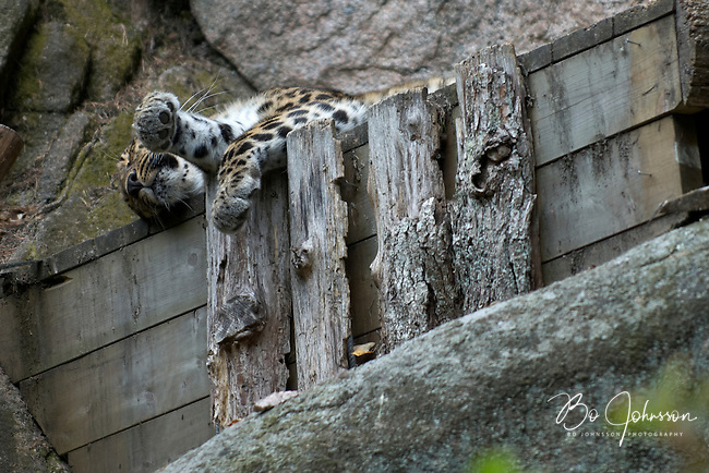 Captive Amur Leopard (Panthera pardus orientalis, also called Far Eastern Leopard) resting. <br /> This subspecie is critically endangered in it's natural habitat in Eastern Russia. It's one of the rarest cats in the world with an estimated 30-35 individuals remaining in the wild (according to Wikipedia 2009). The treats are poaching of the leopards and their prey species, deforestation, negative impacts of inbreeding and human developement in the leopard's range.<br /> The zoological garden &quot;Nordens Ark&quot; in Hunnebostrand, Sweden.<br /> August 2007.