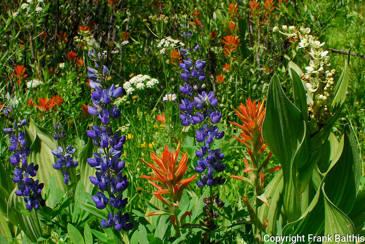 lupine, corn lily, paintbrush