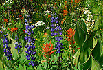 lupine, corn lily, paintbrush