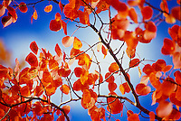 Aspen Leaves and Sky