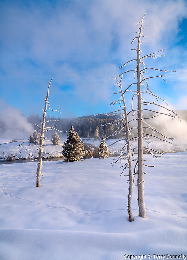 Yellowstone National Park, Wyoming:<br /> Winter morning sun on white dessicated trees (Bobby Sox Trees)  in the Upper Geyser Basin near Castle Geyser.