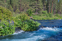 USA, Oregon, Deschutes National Forest, Summer wildflowers and pine forest along the Metolius River - a federally designated Wild and Scenic River.