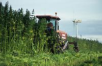 GERMANY, harvest of hemp plant for use of fibres for textiles / DEUTSCHLAND, MV, Ernte eines Hanffeld mit Schwadmaeher, die Fasern der THC-freien Hanfpflanze werden fuer Textilien verwendet, Hintergrund Enercon E-33 Windrad