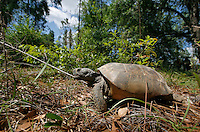 GAINESVILLE, FL. 4/28/09-GOPHERHOME CH3-A mature male Gopher Tortoise sets out to explore his permanent new home Tuesday on the Lochloosa Conservation Easement south of Gainesville. The Plum Creek property is the first site permitted under new regulations to protect the threatened species. The first four residents were welcomed Tuesday to a 570-acre site that will eventually be home to 1,781 Gopher Tortoises.  ..COLIN HACKLEY PHOTO FOR PLUM CREEK