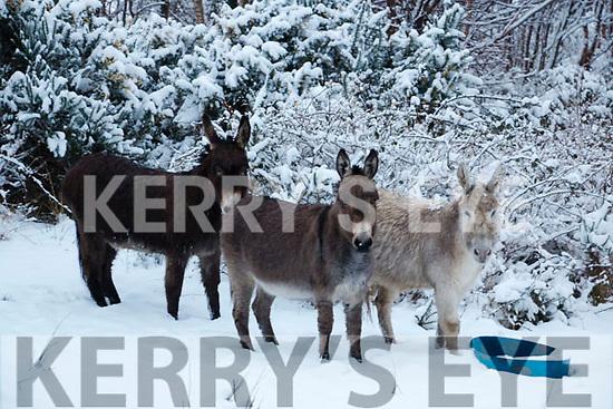 Donkey's Having fun in the Snow in Kenmare