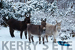 Donkey's Having fun in the Snow in Kenmare