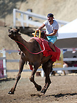 Josh Ashby races in the 54th International Camel Races in Virginia City, Nev., on Friday, Sept. 6, 2013.  <br /> Photo by Cathleen Allison