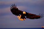As if falling from the sky, a bald eagle spreads its wings in preparation for landing in Southcentral Alaska.