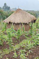 Village hut with a small vegetable garden, near Parc National des Volcans, Rwanda