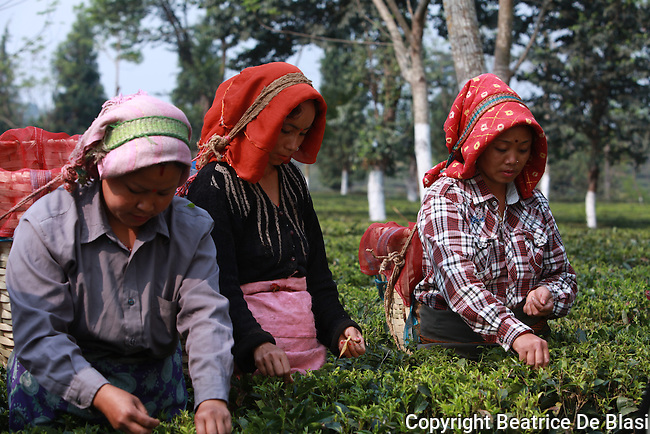 Fair trad pluckers harvest tea leaves in Ambootia, Darjeeling