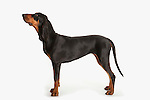 Black & Tan Coonhound Dog, Standing, Studio, White Background