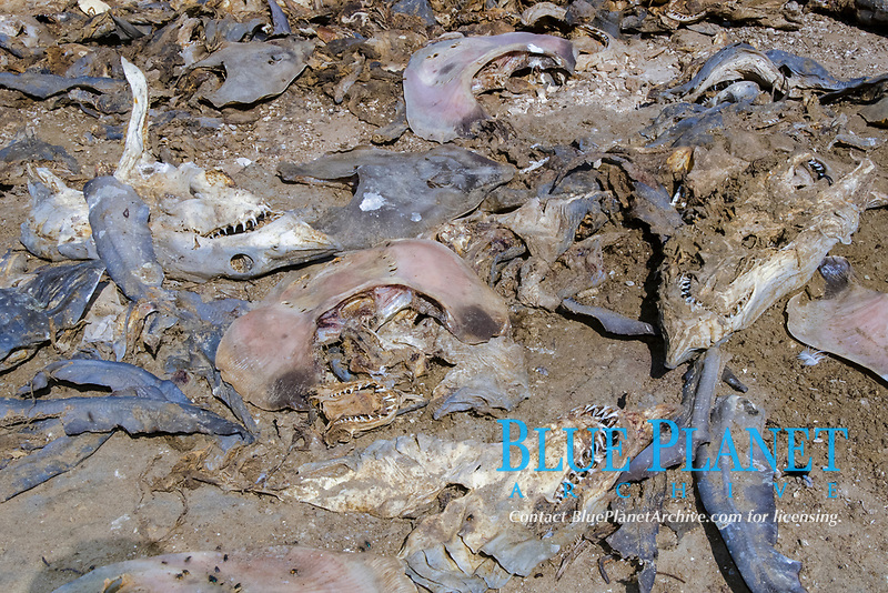 shortfin mako shark, Isurus oxyrinchus, and other shark and ray heads discarded by shark fishermen and gill netters in Guerero Negro, Baja, Mexico.