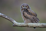 USA, California, Pt. Reyes National Seashore, (Bubo virginianus)<br />
