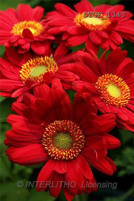 Gisela, FLOWERS, photos(DTGK1343,#F#) Blumen, flores, retrato