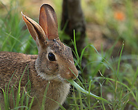 Texas Cottontail doin' what rabbits do.<br />
