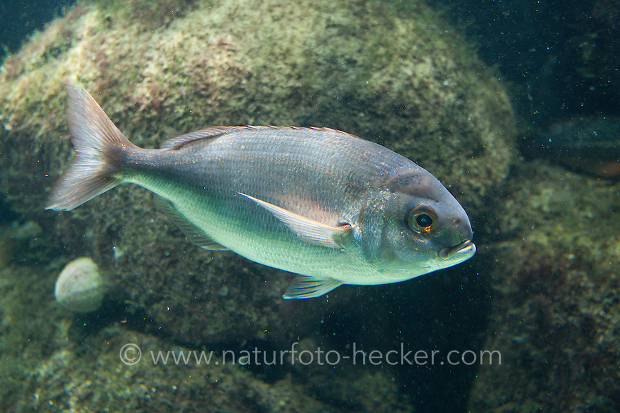 Rote Fleckbrasse, Graubarsch, Meerbrasse, Seekarpfen , Pagellus bogaraveo, Pagellus centrodontus, Pagellus breviceps, Blackspot seabream, black spot seabream, Red sea bream, red seabream