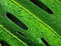 A close-up of a rain-spattered monstera leaf, Big Island of Hawai'i.