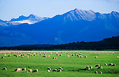 Sheep graze fertile pasture near Manapouri with the Fiordland National Park in the distance, South Island, New Zealand.