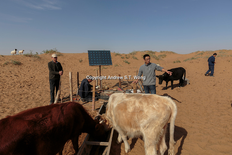 Local farmer Ma Yanwai (R) who are practising eco-agriculture, checks the cattle in Alxa Left Banner, Inner Mongolia, China, October 2017.