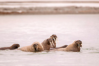 Atlantic walruses, Odobenus rosmarus rosmarus, in the water, Svalbard, Spitsbergen, Norway, Europe