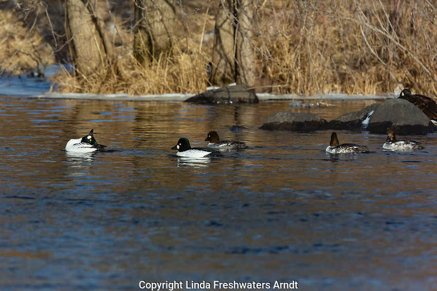 Drake common goldeneye displaying on the Chippewa River in northern Wisconsin
