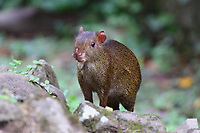 Agouti, a tropical rodent