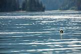 USA, Alaska, Homer, China Poot Bay, Kachemak Bay, a seal spotted in the waters near the Kachemak Bay Wilderness Lodge