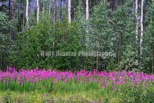 IMAGES OF THE YUKON,CANADA Wilflowers of the Yukon,  Fireweed; epilobium augustdifolium