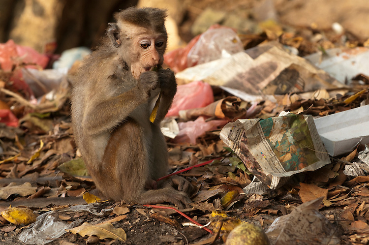 A juvenile male toque macaque feeding on rubbish. This is an increasing problem for these monkeys. Archaeological reserve, Polonnaruwa, Sri Lanka. IUCN Red List Classification: Endangered.