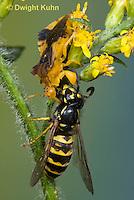 AM02-539z  Ambush Bug female, feeding on Sandhills Hornet prey with long sharp beak,  Phymata americana