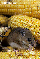 MU54-002z   White-Footed Mouse - eating corn -  Peromyscus leucopus