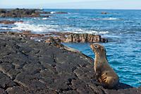 Glapago fur sea lion, James Bay, Stantiago Island, Galapagos Islands, Ecuador.