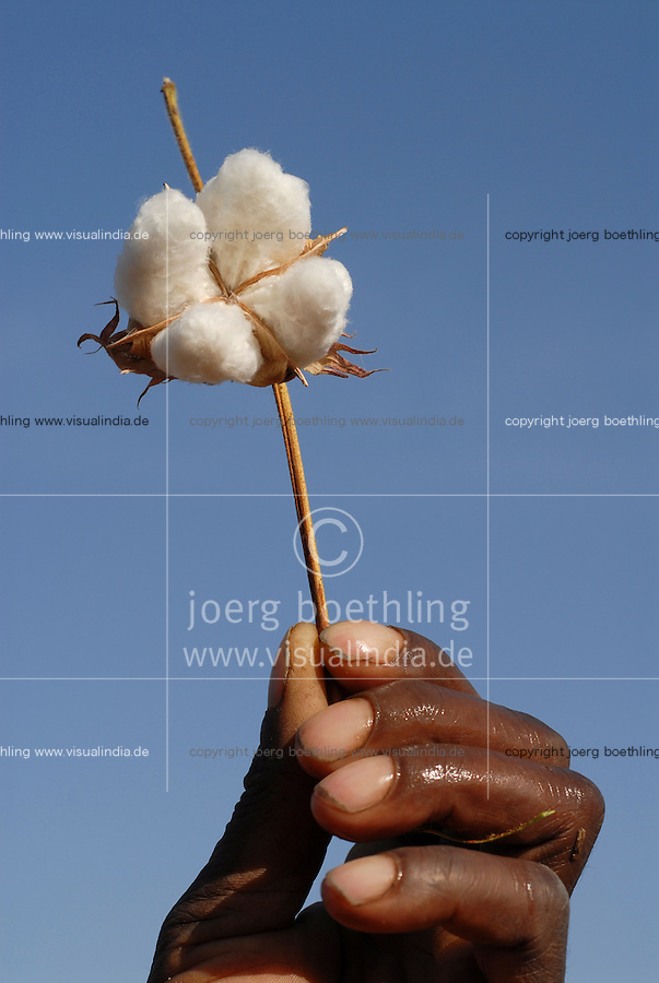 TANZANIA Meatu, organic cotton project biore of swiss yarn trader Remei AG , cotton harvest