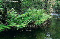 Königsfarn, Königfarn, Gewöhnlicher Rispenfarn, Königs-Rispenfarn, Osmunda regalis, royal fern, flowering fern