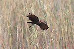 Hamerkop looking for landing spot in the Caprivi area of Namibia