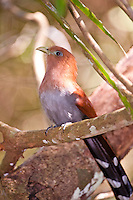 Squirrel Cuckoo, Belize