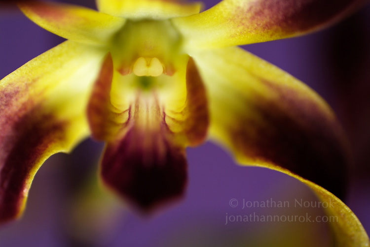 close-up of an orchid flower - commercial/editorial licensing for this image is available through: http://www.gettyimages.com/detail/200144608-001/Photographers-Choice