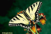 SB01-006z  Butterfly - Tiger Swallowtail - Pterourus glaucus