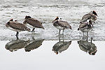 Brown Pelican (Pelecanus occidentalis) group on shore, Elkhorn Slough, Monterey Bay, California