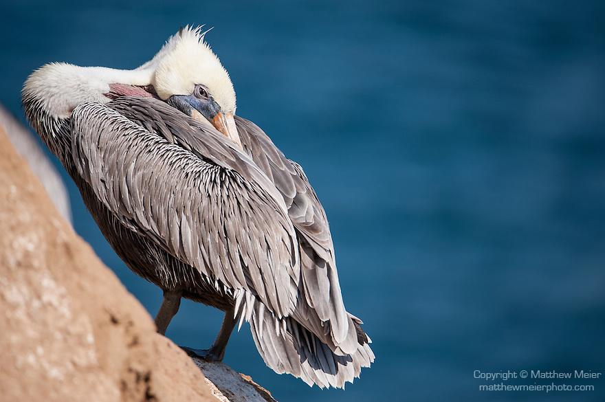 La Jolla Cove, La Jolla, California; a Brown Pelican (Pelecanus occidentalis) resting on the cliffs overlooking the Pacific Ocean