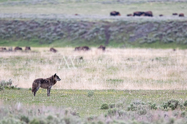 """Alpha male """"Twin"""" of the Lamar Canyon wolf pack."""
