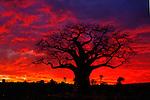 African Baobab Tree (Adansonia digitata) silhouetted at sunset, Tarangire National Park, Tanzania, Africa.