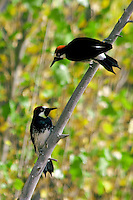 PAIR OF ACORN WOODPECKERS AGAINST FALL FOLIAGE