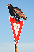 """Yield to Vultures"" by Art Harman. And you should!"