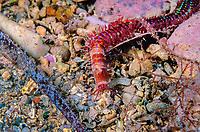 Segmented Worm, Eunice aphroditois, Port Victoria, South Australia, Southern Ocean