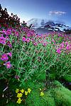 Lewis' monkey flower, Mount Rainier National Park, Washington