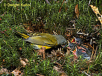 WB03-002z  Nashville Warbler - adult feeding young in nest - Vermivora ruficapilla
