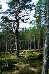 Trees in a forest in Sutherland, Scotland, Uk