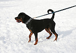 California, Lake Tahoe: Young Rottweiler dog 15 month old in the snow at  North Lake Tahoe Regional Park.  Photo copyright Lee Foster.  Photo # cataho107599