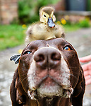 "Pictured:  The duckling sat on the head of Meg the dog.<br /> <br /> BIRD BRAIN.....A duckling sits on top of a dog in a cute series of images showing the pair out enjoying the sunny weather in Winchester, Hants.<br /> <br /> The German pointer called Meg has become used to the duckling's presence after her owner spotted an abandoned egg close to a path while out walking.  Will Hall from Wincheter took it home to keep it warm where he was able to hatch the duckling.<br /> <br /> Will, Meg's owner said: ""I'm thrilled that the dog and the duckling are getting along. To start with Meg was scared of the duckling and would just run away as soon as it came near her. So the fact that she is now letting it be around her is a big relief.  She would never go for it, or attack it in anyway.""<br /> <br /> Please byline: WRH Photography/Solent News<br /> <br /> © WRH Photography/Solent News & Photo Agency<br /> UK +44 (0) 2380 458800"